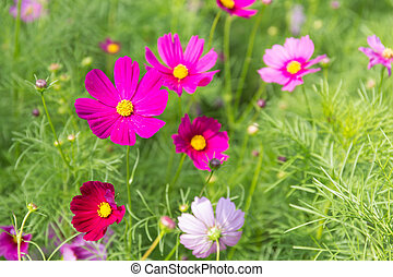 Pink Red Cosmos flower in field