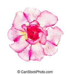 Pink red flower adenium obesum isolated on white background