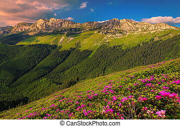 Pink rhododendron flowers on the hills at sunset, Bucegi, Romania