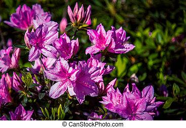 pink rhododendron garden in Charleston