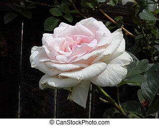 Pink Rose 2140