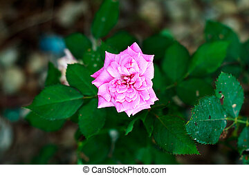 Pink Rose Blooming in Garden
