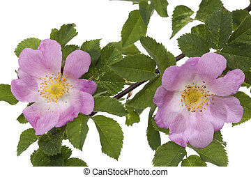 pink rose - branch briar rose with developed pink  flower
