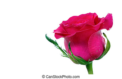 pink rose bud isolated on white. close up. copy space