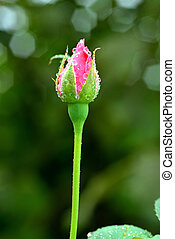 Pink Rose bud on blurred background - Pink rosebud with ...