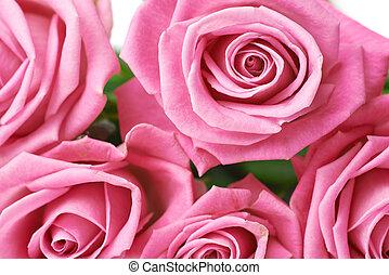 Pink rose buds close-up shot