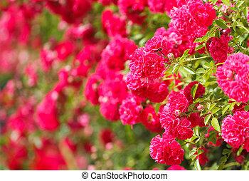 Pink rose bush -  Blooming the pink rose bush .