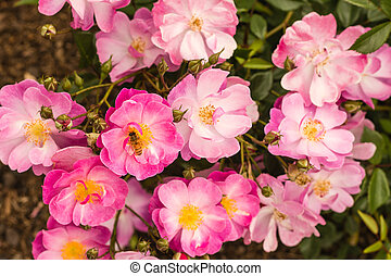 pink rose bush flowers