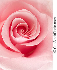 Pink rose - Close-up of a beautiful pink rose