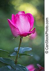 pink rose flower in a garden