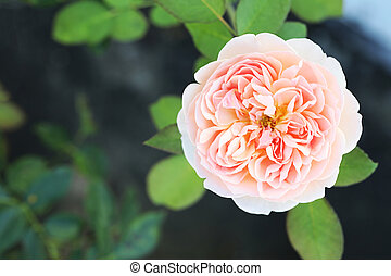 Pink rose flower in the garden