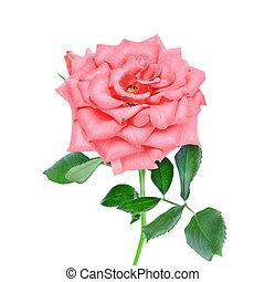 pink rose flower isolated on a white