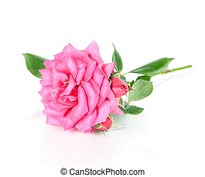 pink rose flower isolated on a whit