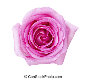 Pink rose flower isolated on white background, soft focus and clipping path.