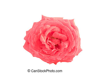 pink rose flower isolated on white background