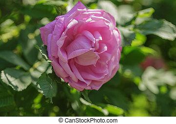 pink rose flower on bush
