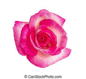 Pink rose head