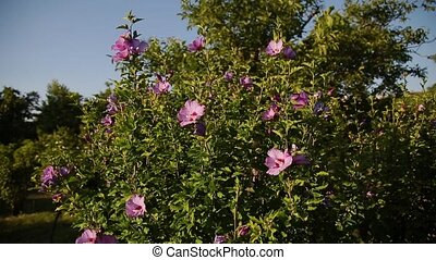Pink rose hip flower on a bush in spring. Blooming wild rose hip in a nature. Briar, wild rose, dog rose. Flowers for food, tea and medicine.