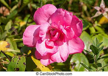 Pink rose in a garden