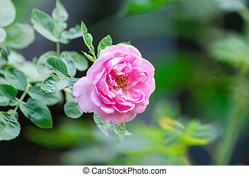 Pink rose In a garden that is close up.