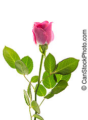 Pink rose in bloom with stalk and leaves on white background