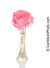 pink rose in bud vase with white background