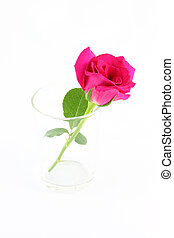 Pink rose in glass on white background.
