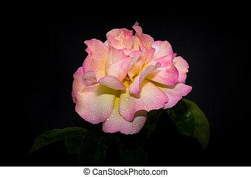 Pink Rose in Morning Dew