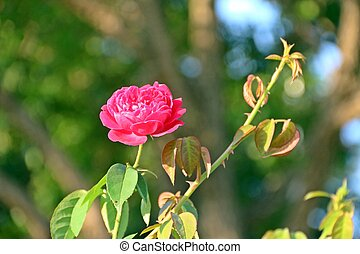 Pink rose in sun bright