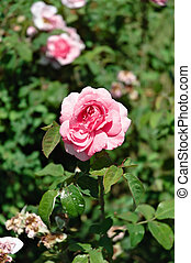 Pink rose in the garden - Closeup image of pink rose in the ...