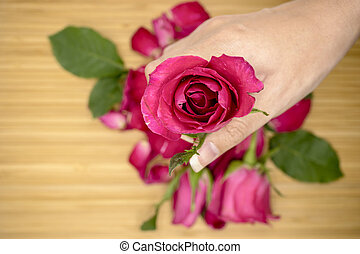 Pink rose in women's hands, Valentines day background.
