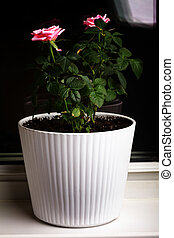 Pink rose indoor plant