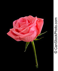 Pink rose isolated on a black background