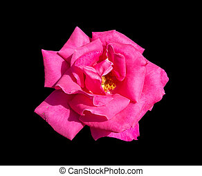 pink rose isolated on black backgro