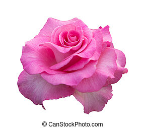 pink rose isolated on white backgro