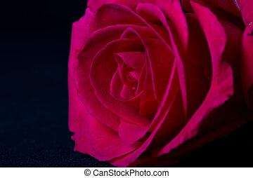 Pink rose macro on black