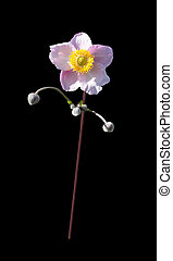 Pink rose mallow flower and buds in expressive pose isolated on black.