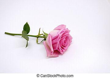 Pink rose on a white background. place for text. postcard