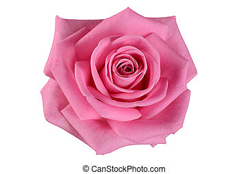 Pink rose on a white background
