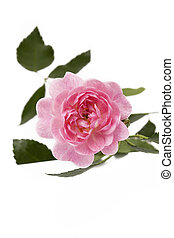 Pink rose on background, top view
