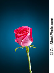 pink rose on blue background with copy-space