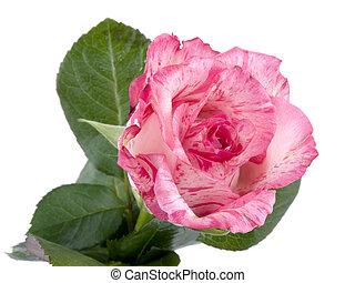 Pink rose on white