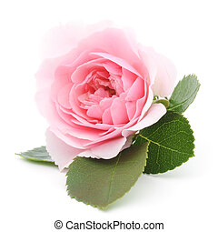 One beautiful pink rose on a white background