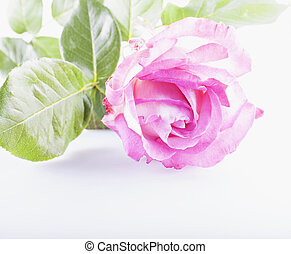 Pink rose over white background