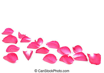 Pink rose petals on white background with a copy space