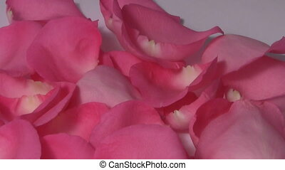 Pink rose petals turning macro