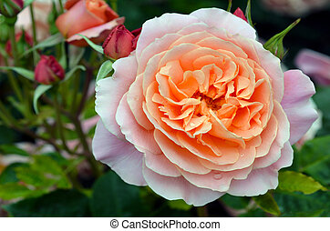 Pink rose - Close up of a pink rose in the Rose Garden of...
