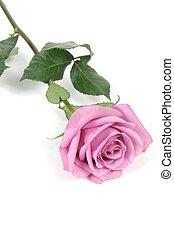 Pink Rose - Pink rose with white background, taken closeup