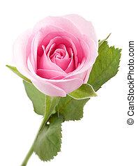 Pink rose - Macro shot of beautiful pink rose on white