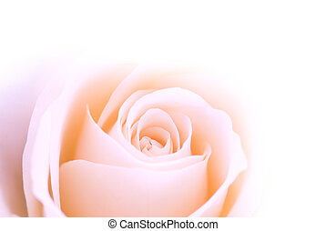 pink rose - beautiful pink rose for backgrounds